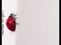 Coccinelle - Angers - © Marie BIEBER - 2012