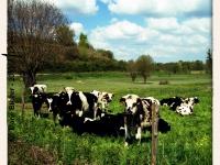 Vaches - Montjean sur Loire - © Marie BIEBER - 2013