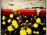 Fleurs sauvages de ma rue - Angers - © Marie BIEBER - 2013